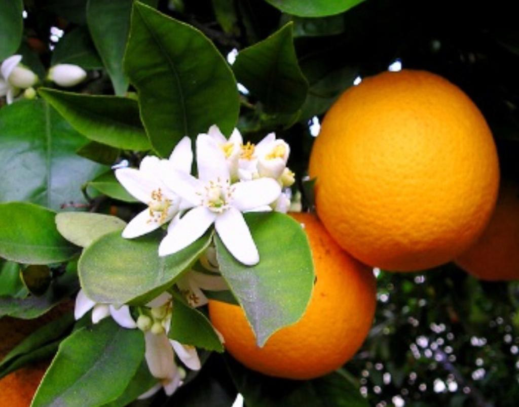 arance sicilia online